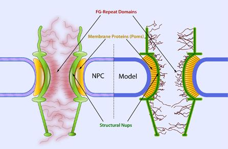 http://biomechanics.berkeley.edu/wp-content/uploads/2013/09/16.png